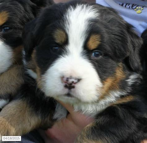 bernese mountain breeders pa 17 best images about bernese mountain dogs on mothers puppys and denver