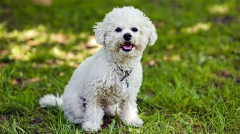 5 small dogs that don t shed barking royalty