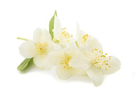 zagara fiore zagara fiore d arancio fotografia stock immagine di