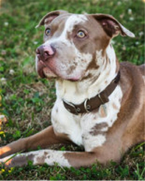 6 month pitbull puppy 6 month pit bull undergoes surgery after fall from window compounded by owner neglect