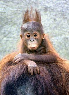 Pelung Ab Baby Me Combo Best Seller a barrel of monkeys actually they are orangutans so
