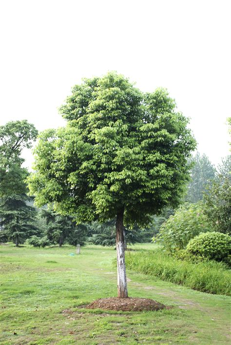 caring for chor tree how to grow chor trees in the