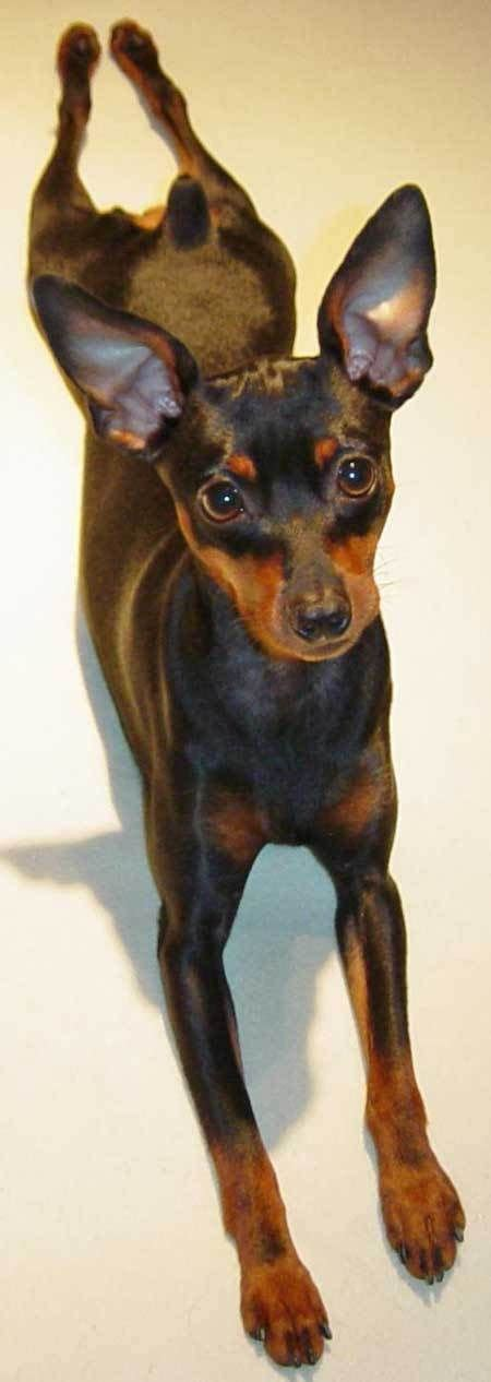 his name was my with a remarkable doberman pinscher books 25 best ideas about miniature pinscher on