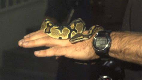 woman finds python in bathroom toronto woman wakes up to find snake on bathroom floor