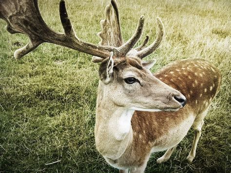 buck buck free photo deer buck wildlife animal free image on