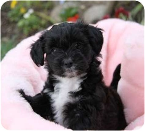 havanese and bichon mix adopted puppy newport ca bichon frise havanese mix