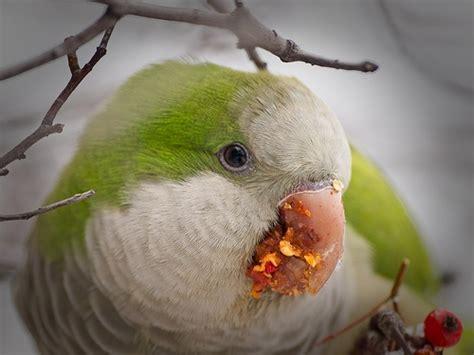 17 best images about quaker parrots on pinterest south