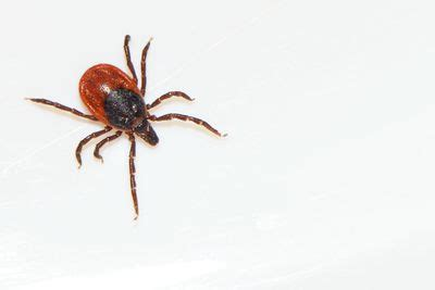 how do you get a tick a how do ticks sense and locate their hosts