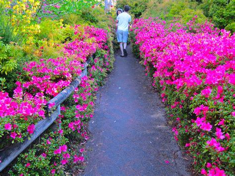 patio rhododendron blackheath rhododendron garden sydney