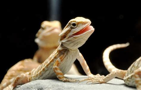 how often do bearded dragons go to the bathroom blog
