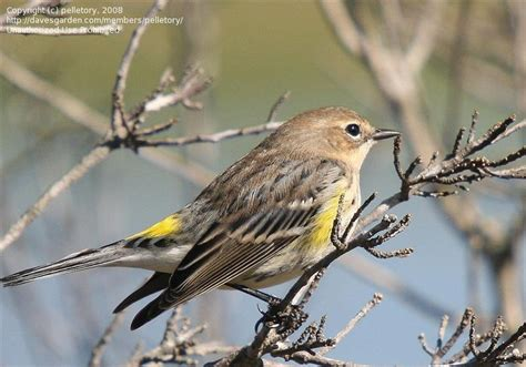 detailed information  myrtle warbler  yellow