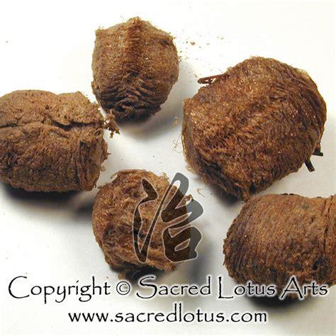 Lian Zi Ekstrak Granules Lotus Seed Nelumbonis Extract Granule herb sang piao xiao mantis egg ootheca mantidis