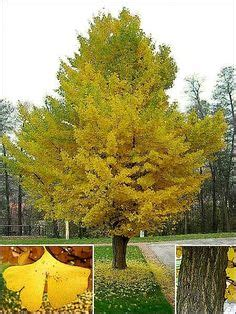 1000 images about ginkgo on pinterest trees tree