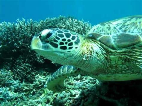 Green Borneo Hq up with a green sea turtle from sipadan island