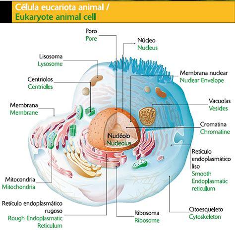 estructura de la clula eucariota atervux celula vegetal y sus partes