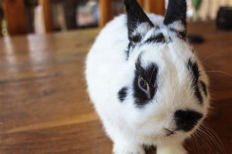 netherlands dwarf coloured  sale rabbits breed