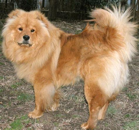 golden retriever chow mix for sale japanese spitz and golden retriever breeds picture
