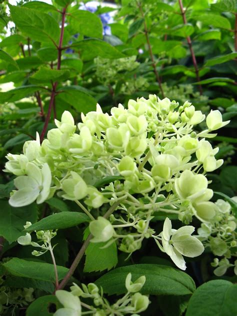 vander giessen nursery hydrangeas when to prune and how to change their color