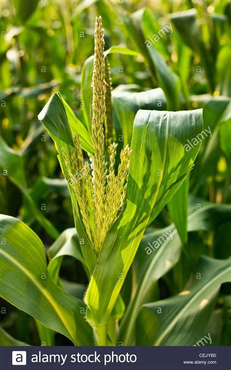 maturing tassel   mid growth sweet corn plant