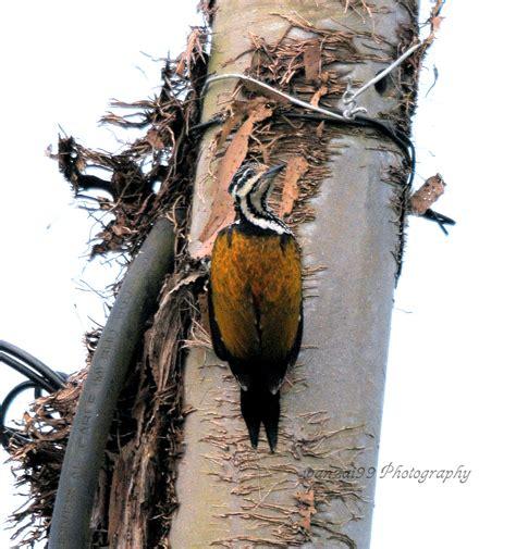 Pinang Muda 2 wanzai99 photography burung belatok pinang muda