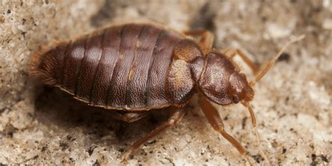 does cold weather kill bed bugs bed bug bully review in depth analysis pest strategies