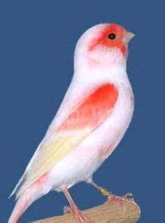 exle of yellow peril 217 best images about canary finch on