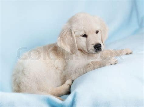 blue golden retriever beautiful small puppy on blue background golden retriever stock photo colourbox