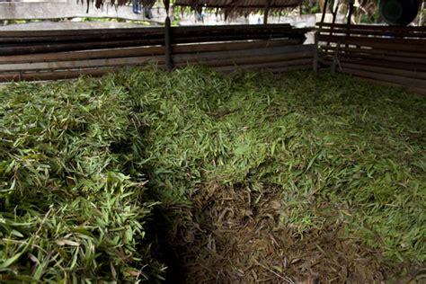 penyulingan minyak kayu putih di pulau buru