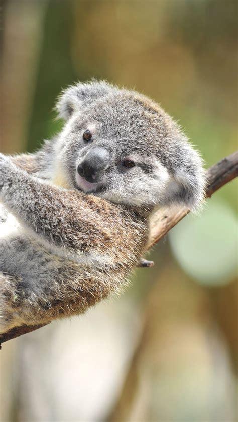 wallpaper iphone koala cute baby koala original super cute baby koala iphone
