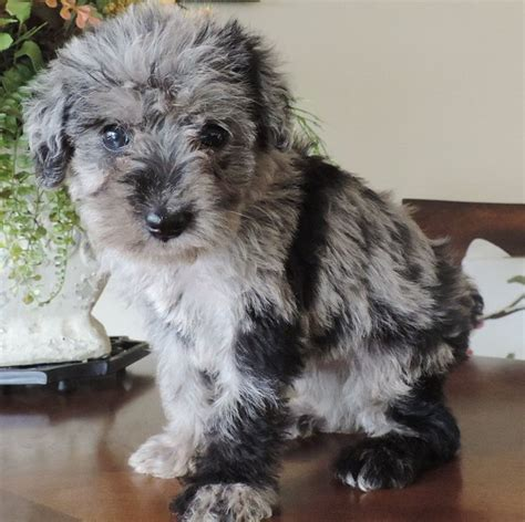 border doodle puppies for sale best 25 labradoodle puppies for sale ideas on