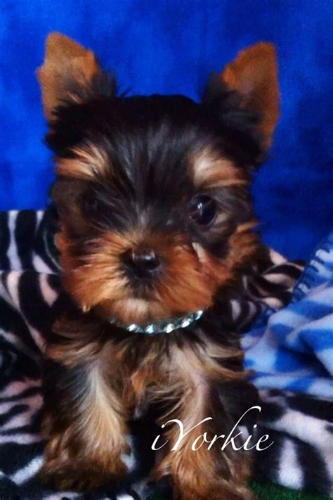 house a yorkie 67 best images about yorkie on a house hunt s and yorkies