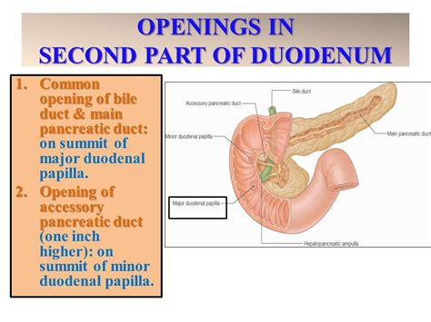 second section of small intestine anatomy of the small intestine ppt video online download