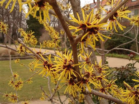 file hamamelis flower jpg