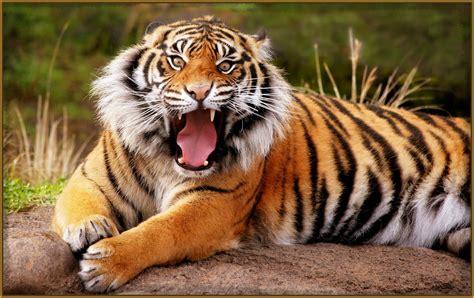 imagenes de leones feroces ver dibujos de tigres feroces archivos imagenes de tigres