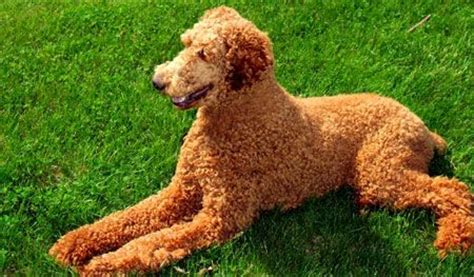 curly haired dog haircuts i really love standard poodles with short cuts my next