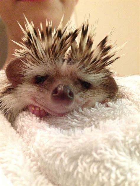 cute baby hedgehog smiling 127 best hedgehog lovin images on pinterest