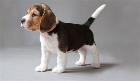 breeds in india top 10 friendly pet breeds in india 2018 beautiful dogs trendrr