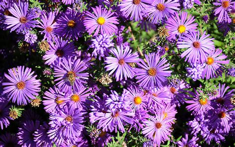 aster flowers wallpapers my note book aster flowers wallpapers my note book
