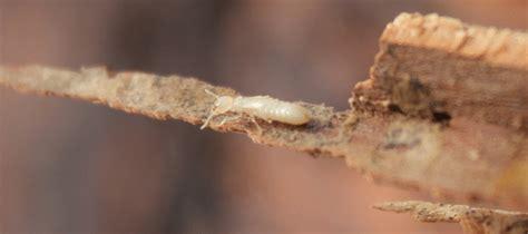 bugs    termites  arent abc blog