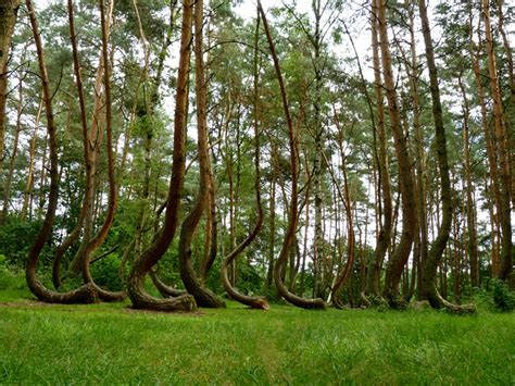 crooked forest poland the crooked forest of gryfino poland