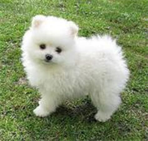 pomeranian puppies gold coast dogs for sale puppies for sale gold coast ads gold coast dogs for sale puppies for