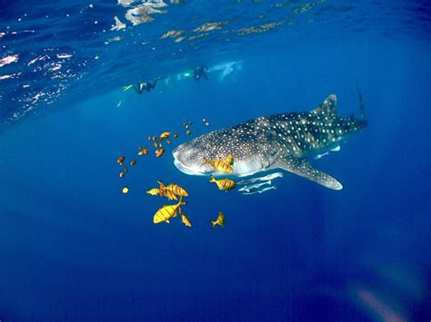ningaloo whale shark and dive sail ningaloo ningaloo reef whale shark diving tours