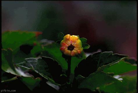 bestgifs makeagif com 187 the best animated gifs on the 16 beautiful flowers animated gifs best animations