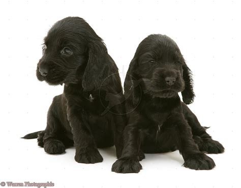 black and white cocker spaniel puppies puppy dogs black cocker spaniel puppies