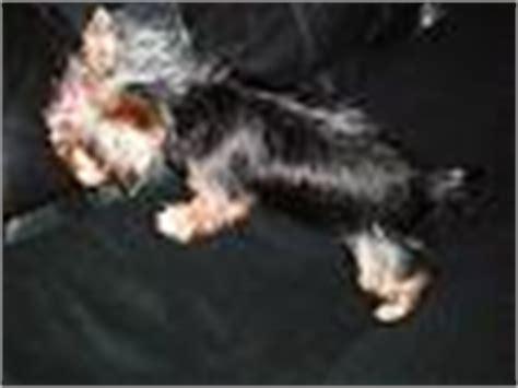7 pound yorkie pics of 6 7 pound yorkies yorkietalk forums terrier community