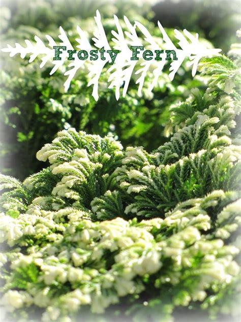 frosty fern houseplant  plants pinterest