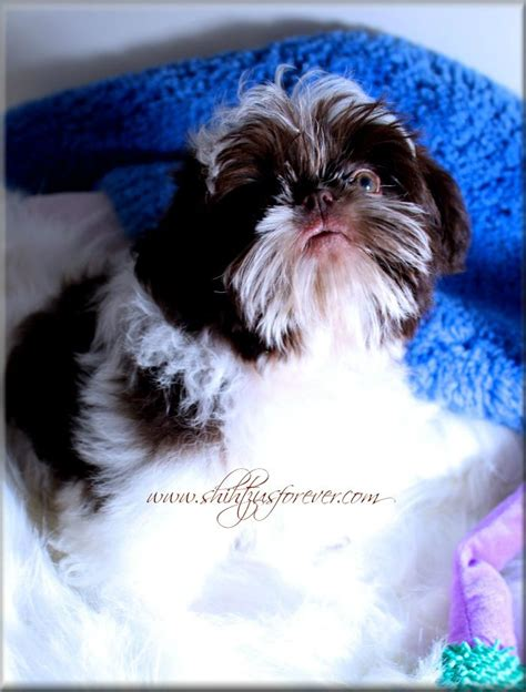 shih tzu puppies for sale mobile al 1000 images about imperial shih tzu puppies alabama imperial shih tzu puppies for