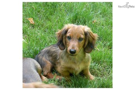 miniature dachshund puppy rescue miniature dachshund puppy rescue breeds picture