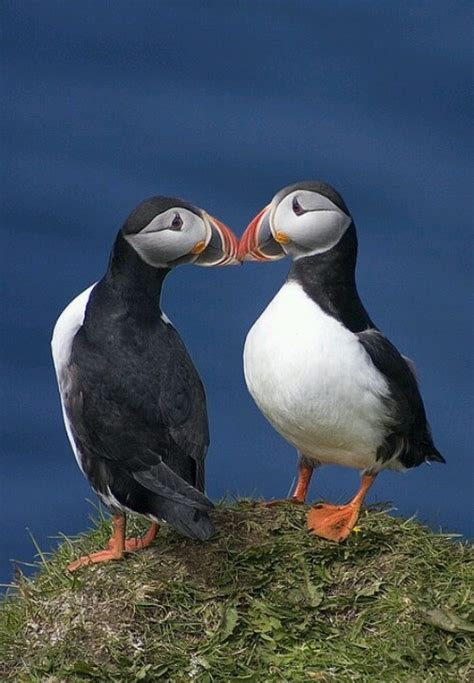 158 best puffins images on pinterest birds feather and