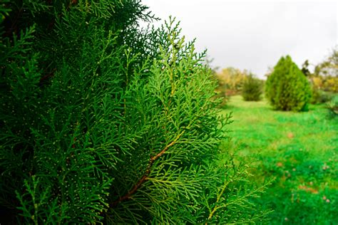 Thuja Smaragd Wachstum 3328 by Thuja Smaragd 187 So Beschleunigen Sie Das Wachstum Des